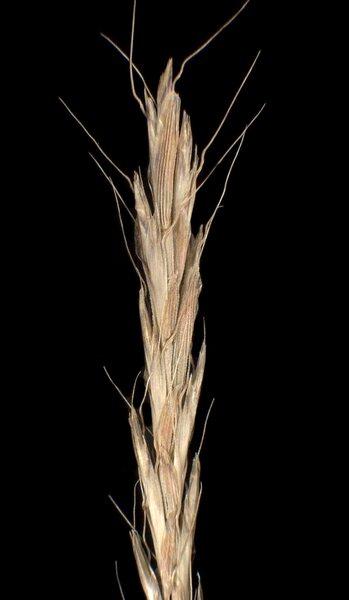 Gaudinia fragilis (L.) P.Beauv.