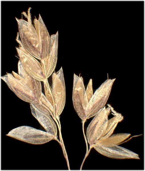 Anthoxanthum australe (Weber) Veldkamp