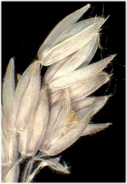 Holcus lanatus L. subsp. lanatus
