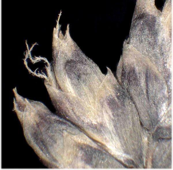 Oreochloa disticha (Wulfen) Link subsp. disticha
