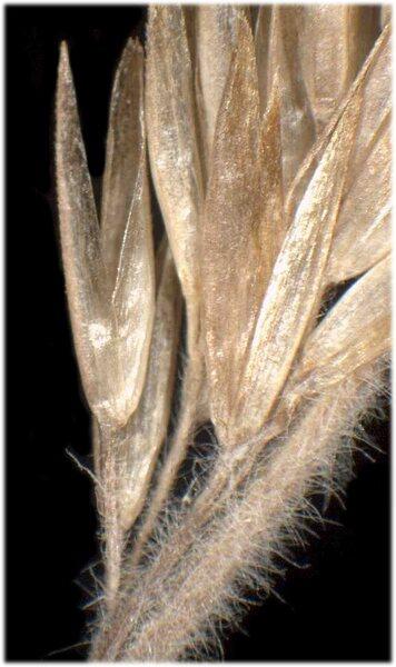 Trisetaria spicata (L.) Paunero subsp. ovatipaniculata (Hultén ex Jonsell) Banfi & Soldano