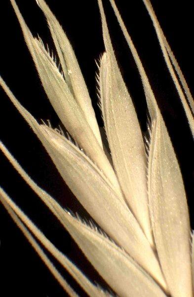 Brachypodium distachyon (L.) P.Beauv.