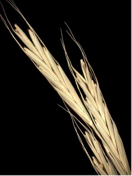 Brachypodium sylvaticum (Huds.) P.Beauv. subsp. sylvaticum