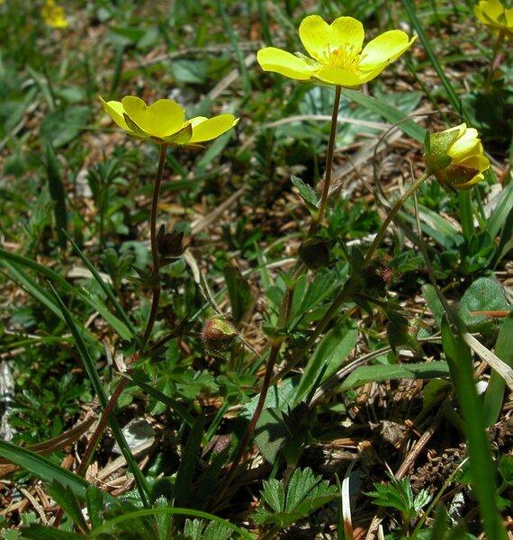Potentilla pedata Willd. ex Hornem.