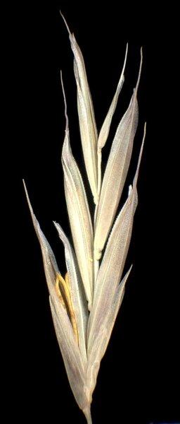 Bromopsis condensata (Hack.) Holub subsp. microtricha (Borbás) Jogan & Bačič