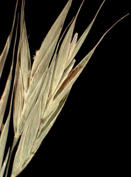 Bromopsis benekenii (Lange) Holub