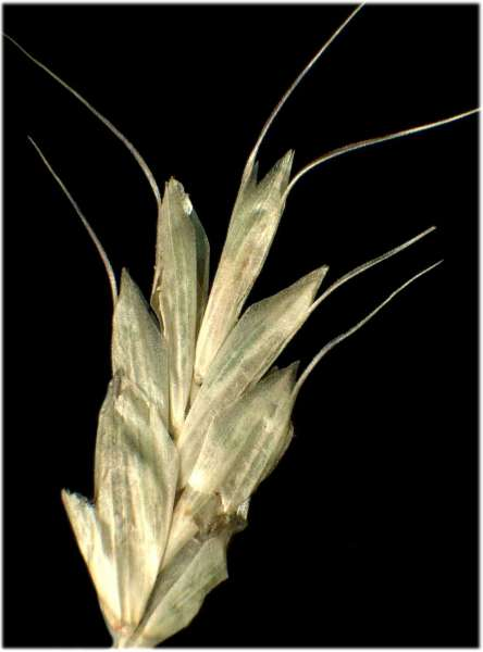 Bromus arvensis L. subsp. arvensis