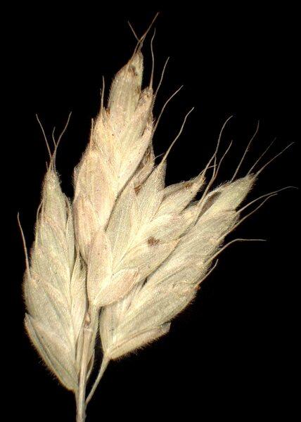 Bromus hordeaceus L. subsp. pseudothominei (P.M.Sm.) H.Scholz