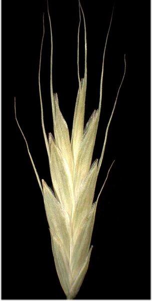 Bromus japonicus Thunb. subsp. japonicus