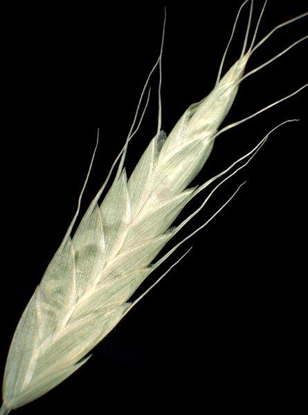 Bromus racemosus L. subsp. racemosus