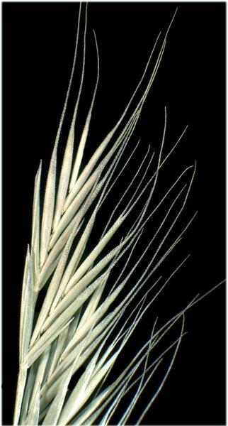 Festuca bromoides L.
