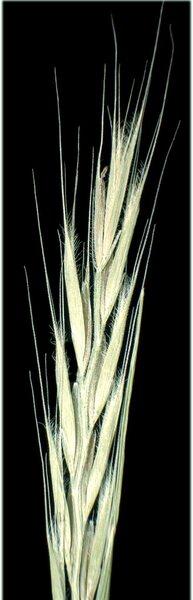 Festuca danthonii Asch. & Graebn. subsp. danthonii