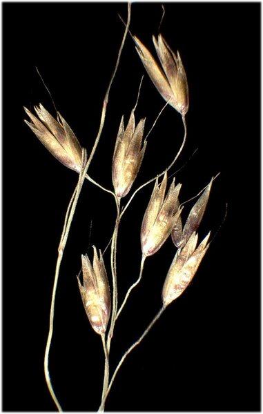 Avenella flexuosa (L.) Drejer subsp. flexuosa