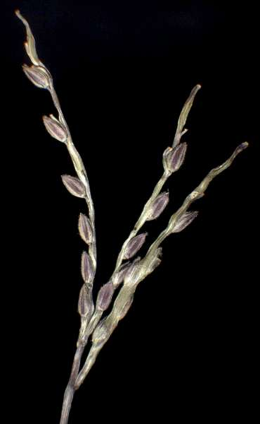 Digitaria ischaemum (Schreb. ex Schweigg.) Schreb. ex Muhl. subsp. ischaemum