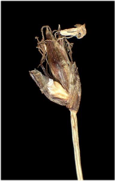 Eleocharis acicularis (L.) Roem. & Schult.