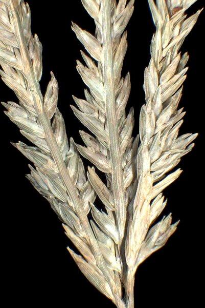 Eleusine indica (L.) Gaertn.