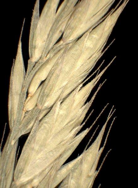 Drymochloa sylvatica (Pollich) Holub