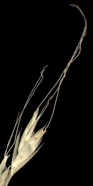 Lolium giganteum (L.) Darbysh.