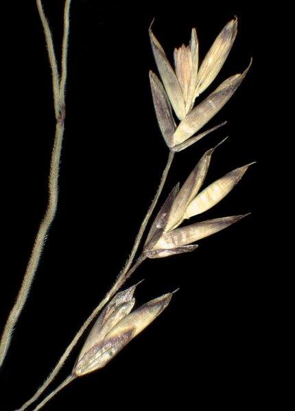 Festuca nitida Kit. ex Schult. subsp. nitida