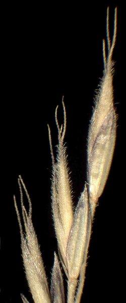 Festuca valesiaca Schleich. ex Gaudin subsp. valesiaca