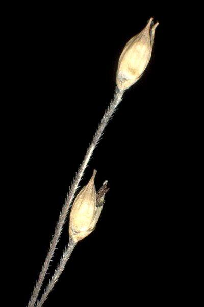 Panicum capillare L.