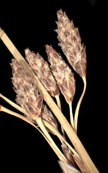 Schoenoplectus litoralis (Schrad.) Palla