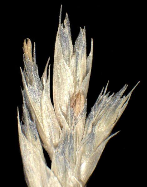 Sesleria caerulea subsp. calcaria