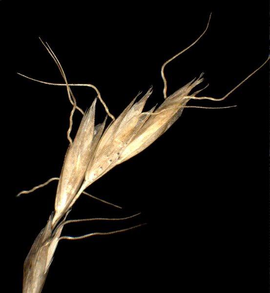 Trisetaria alpestris (Host) Baumg.