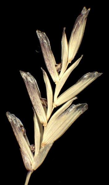Glyceria notata Chevall.
