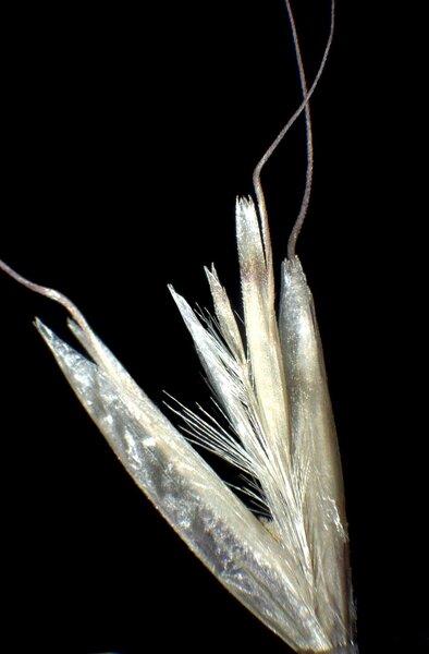 Avenula pubescens (Huds.) Dumort. subsp. pubescens