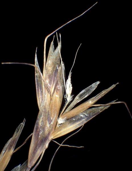 Helictochloa versicolor (Vill.) Romero Zarco subsp. versicolor
