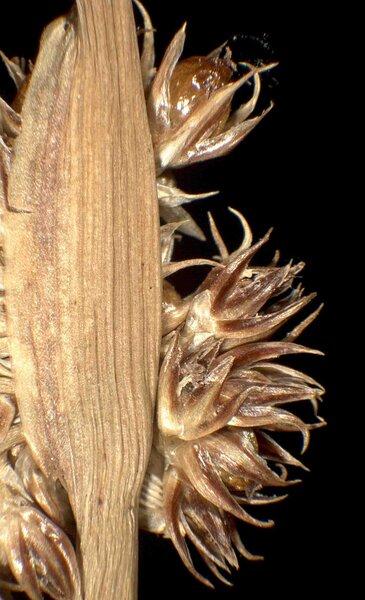 Juncus conglomeratus L.