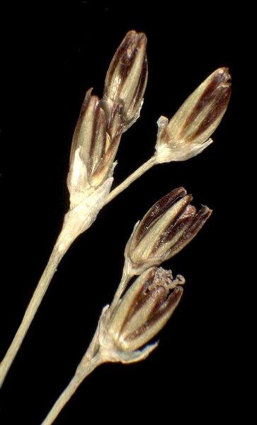 Juncus gerardi Loisel. subsp. gerardi