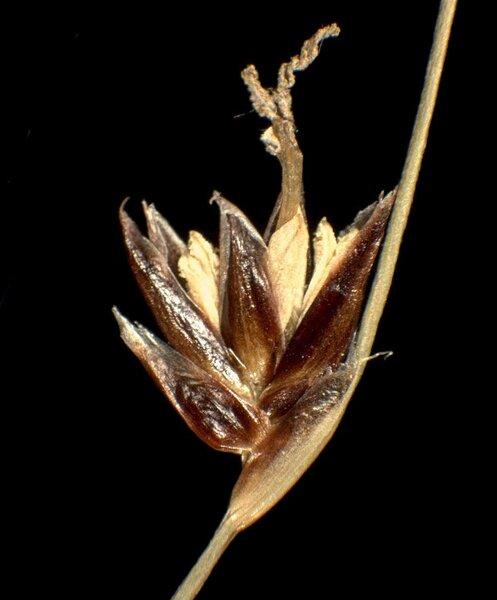 Oreojuncus monanthos (Jacq.) Záv.Drábk. & Kirschner