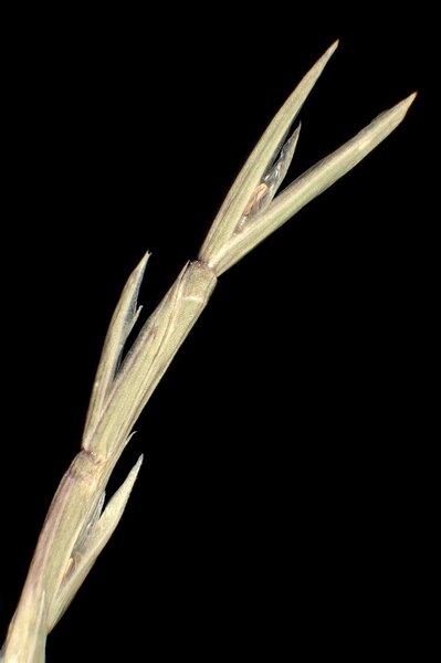 Parapholis incurva (L.) C.E.Hubb. subsp. incurva