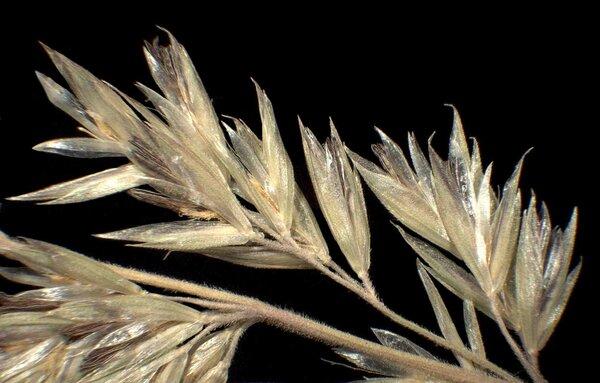 Koeleria pyramidata (Lam.) P.Beauv.