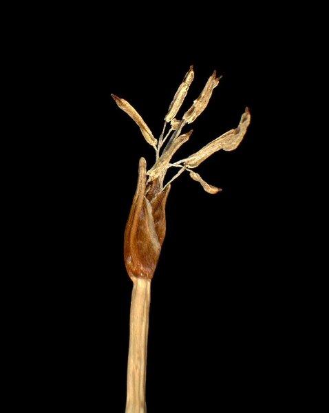 Trichophorum cespitosum (L.) Hartm. subsp. cespitosum