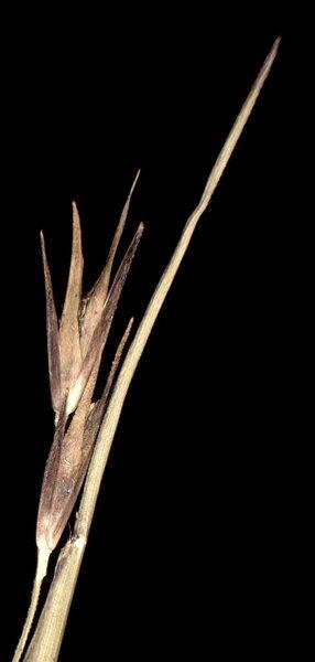 Sporobolus vaginiflorus (Torr. ex A.Gray) Alph.Wood