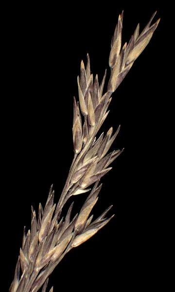 Molinia arundinacea Schrank