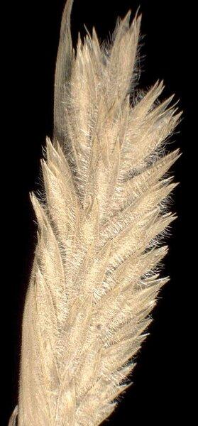 Phleum arenarium L. subsp. caesium H.Scholz