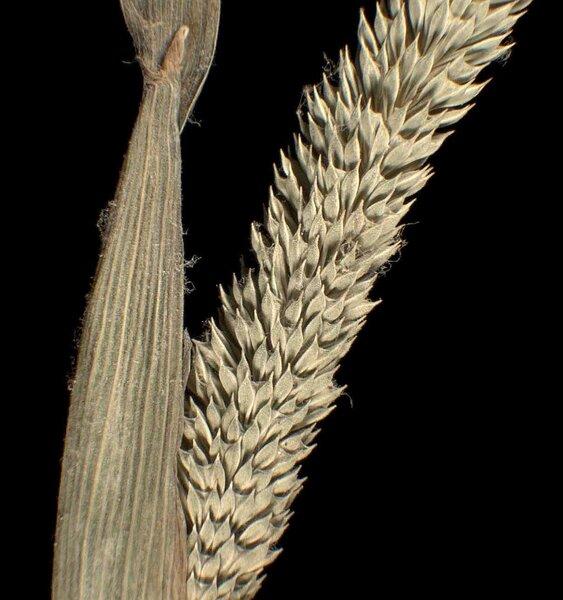 Phleum paniculatum Huds. subsp. paniculatum