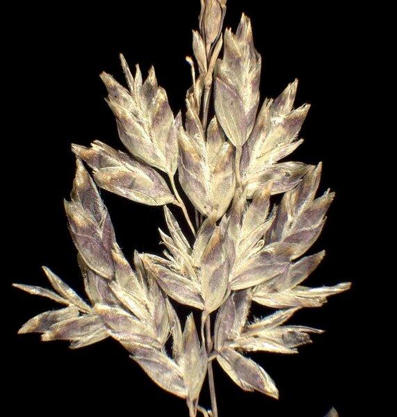 Poa alpina L. subsp. alpina