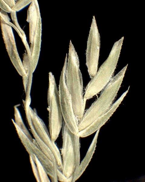 Poa angustifolia L.