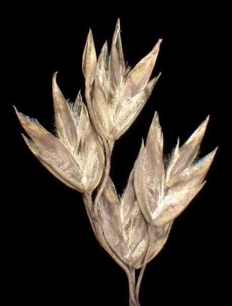 Poa badensis Haenke ex Willd.