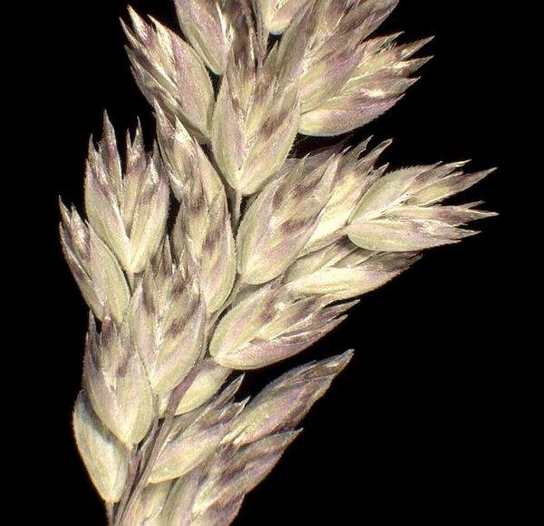 Poa bulbosa L. subsp. pseudoconcinna (Schur) Asch. & Graebn.