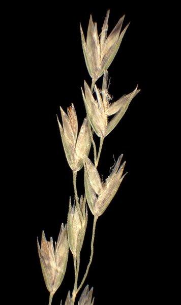 Poa nemoralis L. subsp. nemoralis