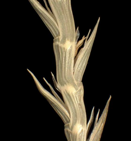 Parapholis cylindrica (Willd.) Romero Zarco