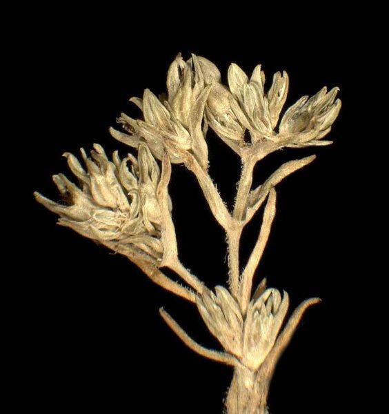 Scleranthus polycarpos L.