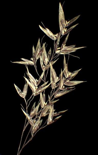 Agrostis alpina Scop.
