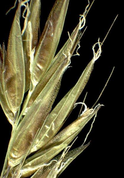 Anthoxanthum nipponicum Honda